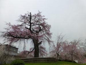 丸山公園桜