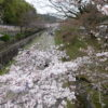 2017年の京都の桜。